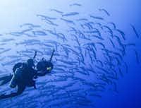Diver and school of barracuda off Kosrae, FSM.