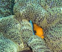 Orange Fin Anemone Fish peeks out from large Carpet Anemone. Kosrae, Federated States of Micronesia (FSM).