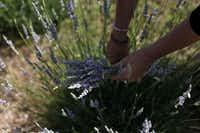 Owner Gwen Snyder harvests lavender to make dried bouquets in one of the two lavender fields at Savannah Meadows.Sonya Hebert-Schwartz - Staff Photographer