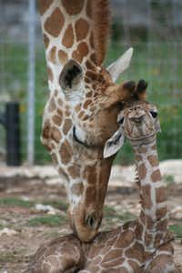 In May, twin reticulated giraffes were born at Natural Bridge Wildlife Ranch. Wasswa and Nakato are on display in the giraffe enclosure at the entrance to the park.