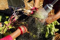 Gardeners wash radishes at the Live Oak Community Garden.  Volunteers harvest myriad vegetables for donation to the Vickery Meadows Food Pantry.