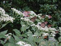 In the fall, monarchs  gather on frostweed flowers by the dozens. Until then, the plant has little ornamental value.Dale Clark  -  Special Contributor
