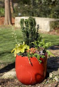 The Fabulous Foliage container, with materials from CovingtonÕs features: Upright Japanese Plum Yew (tall in back); Electric Lime Heuchera (far left, chartreuse leaf with red veining); CaitlinÕs Giant Ajuga (purple on far left); Green Moneywort; Sunset Oxalis (red one in center); Creeping Jenny Lysimachia (trailer spilling off front); Japanese Beech Fern (fern on far right); Palace Purple Heuchera (purple plant far right). Photographed at the Dallas Arboretum in Dallas, Texas on Friday, February 28, 2014.Brad Loper  -  Staff Photographer