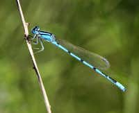 Damselflies (left) and dragonflies are prevalent in the Midlothian nature park. Damselflies rest with their wings folded back, but a dragonfly perches with its wings out, like an airplane.Steve Hamm - Special Contributor