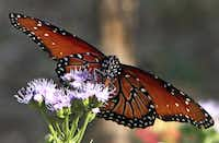 A queen butterfly is attracted to the nectar of a Gregg's blue mist flower at the Mockingbird Nature Park.Steve Hamm  -  Special Contributor