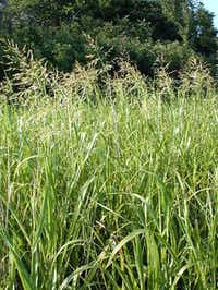 Johnson grass is a weed that causes major problems for allergy sufferers.Texas A&M AgriLife Extension Service  - Texas A&M AgriLife Extension Ser