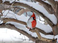 Over time, hobbyist Larry Ammann came to realize that a cardinal in his neighborhood was a gynandromorph, with characteristics of a red male on one side and a drab female on the other.