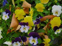 Cool Wave pansies' colors intensify in the cold and they bloom even in the snow, and recover in early spring.