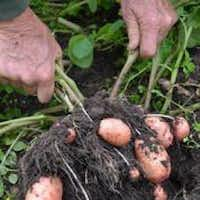 Grasp a potato plant by its stems and pull.