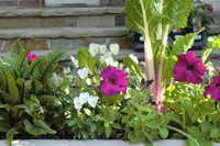 Edible chard and sorrel mingle with petunias and pansies in a container planted by Dallas County master gardener Barbara Gollman.Barbara Gollman