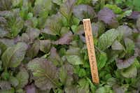 The more sunshine 'Japanese Giant Red' mustard greens receives, the spicier it gets. Sow the seeds now.Baker Creek Heirloom Seeds