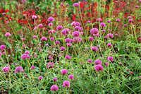 The Fireworks gomphrena produces scores of hot pink flowers that look like tiny exploding firecrackers.