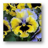 Frizzle Sizzles are grown in multiple colors and combinations.