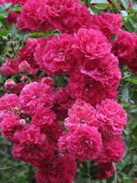 'Crimson Shower,' bred in England, produces abundant sprays of clustered flowers.Anne Belovich