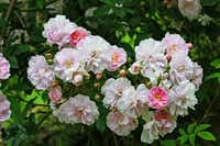 Although 'Paul's Himalayan Musk' is once flowering, it produces blooms in great abundance, making a magnificent display.Anne Belovich