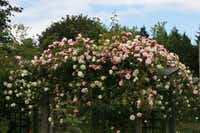 Sturdy wood pergolas have been built on the Belovich property to bear the weight of prolific rambler roses.Anne Belovich