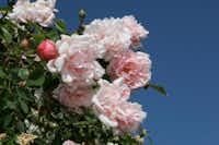 'Albertine' is appreciated for its heady perfume.Anne Belovich
