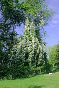 'Sir Cedric Morris' is a vigorous rambler bearing clusters of small white, single blooms.Anne Belovich