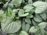 Brunnera 'Silver Heart' is an improved variety in that its humidity tolerance is improved.Skagit Gardens