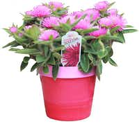 'Pink Zazzle' is an annual with large, stunning pink flowers. Gomphrena 'Pink Zazzle'. Annual color, especially useful for containers.EuroAmerican
