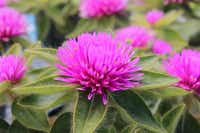 Gomphrena 'Pink Zazzle' is available in a few North Texas retail nurseries.EuroAmerican