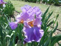 'Lilac Morning'Bonnie Nichols