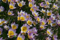 The lilac-pink flowers with deep yellow centers of Tulipa bakeri 'Lilac Wonder' weather hard rains and wind with equal aplomb. 8 inches tall, blooms mid-spring. Native to Crete.colorblends.com  - colorblends.com
