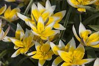 A stellar perennializer when planted in full sun in well-drained soil, Tuilipa tarda is a multi-flowering tulip with bright yellow star-shaped flowers, edged in white. 5 inches tall, blooms mid-spring, native to the Tien Shan Mountains bordering Kazakhstan, Kyrgyzstan and China.Colorblends.com  - colorblends.com