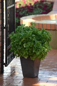 Burpee Home Gardens 'Emerald Frills' basil does double duty as a flavorful, edible ornamental. There's also a dark-leaf variety, 'Ruby Frills'.Burpee.com -  burpee.com