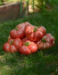 'Big Brandy' tomato from PanAmerican Seed's Marriage series is a cross of two heirlooms: 'Big Dwarf' and 'Brandy-wine.'Panamseed.com