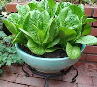 'Sweetie Baby Romaine' is a heat-tolerant selection that grows from 6 to 8 inches tall.reneesgarden.com