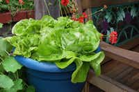 Garden Babies, developed for the Japanese market, produces butterhead lettuce heads of 5 to 6 inches.reneesgarden.com