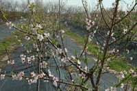 Aggie researcher David Byrne has been working for years on new varieties peaches at this orchard near College Station. The trees are being sold to the public this year.