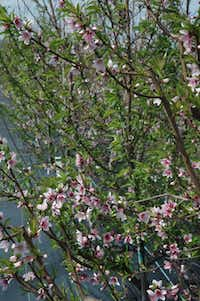 Rows of peach trees grow at at Texas A&M University research orchard.