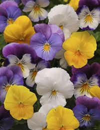 Cool Wave pansies in mixed colors