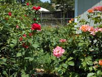 'Veterans Honor' (left) and 'Rainbow Sorbet' (right) are some of the stars in Joe and Margie's backyard cutting garden. The beds are roughly divided into types of rose plants -- miniatures, antiques and EarthKind, and the cutting gardens.