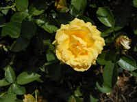 Julia Child is a fragrant, modern floribunda rose that produces plenty of blooms.