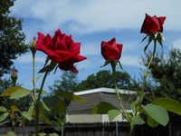 Margie Plunkett propagated the prolific bloomer 'Mirandy.' Garden tour visitors to the Plunkett's yard said they could smell the rose before they could see it.