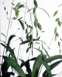 Inland sea oats likes shade and will prodigiously multiply by seed.