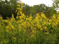 Eileen Berger, a master naturalist whose training has informed her own garden choices, praises native Maximilian sunflower, a perennial that churns out golden blooms from midsummer onward.Lee Page - Lady Bird Johnson Wildflower Center