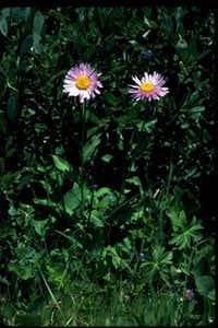 Erigeron peregrinus, commonly called fleabane, is a perennial daisy.W.D. and Dolphia Bransford  -  Lady Bird Johnson Wildflower Center