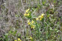 Fringed puccoon (Lithospermum incisum) is a species of flowering plant in the borage family. The slender, trumpet-shaped flowers are pale to bright yellow or gold. Various parts were used medicinally by Native Americans for multiple remedies, including salves, poultices and infusions.Carolyn Ross