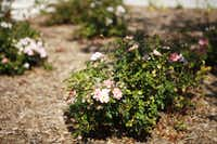 Drought-tolerant plants, including ground-cover roses, are routine landsaping choices in Greenbrook Homes' designs.