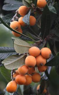 "Loquat fruit growing on a tree in the back yard garden of Matthew Nichols. ""The loquat produces fruit any time we have mild winters,"" Nichols says."