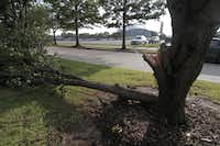 :A damage tree along Nolan Ryan Expy after a summer storm passed through Arlington July 06, 2010.