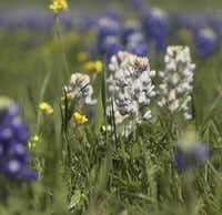 PerriAngela Wickham says the albino bluebonnet isn't as rare as the pink one. She found this one in Ennis on  Saturday.