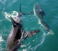 A pair of sharks cross paths near Gansbaai, South Africa.