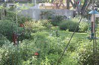 Dill (center) and rosemary (right rear) are mainstays in Arlene Hamilton's garden.