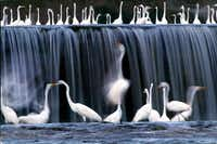 Great egrets at the White Rock Lake spillway in 2001.