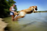Karla, a Golden Retriever, finds relief from the dog days of summer by taking a jump into White Rock Lake in July 2004.